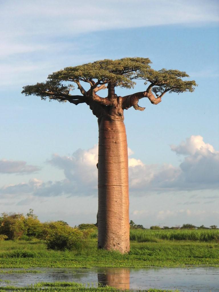 Les premières fermentations de miel se sont sans doute passées dans les baobabs.